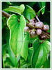 Dioscorea polystachya (Chinese Yam, Cinnamon Vine, Ubi Keladi in Malay