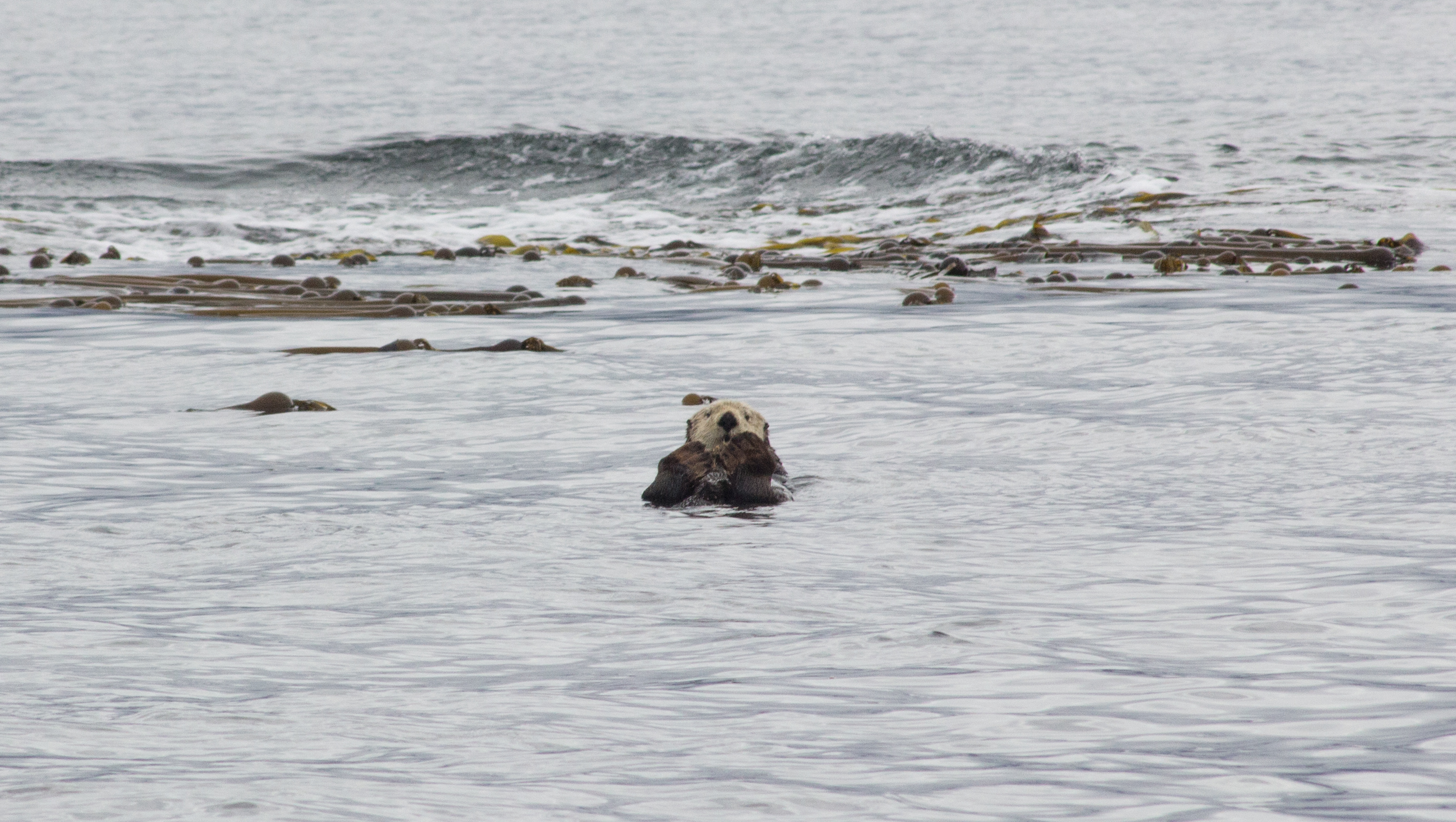 Seeing a sea otter on a boat tour with Jamie's Whaling Station, Tofino