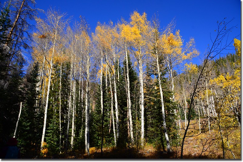 Just before dying, aspen leaves reach the height of color