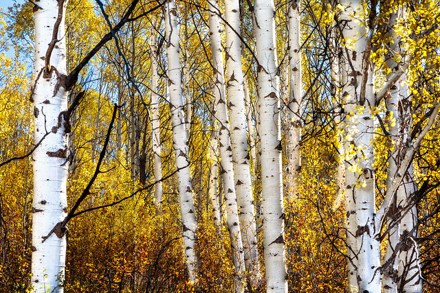 Quaking Aspens in Fall