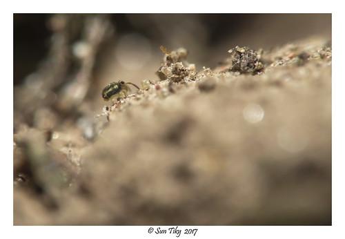 Mon, 10/16/2017 - 15:22 - Collembole Sminthurinus elegans (size 0.6 mm)