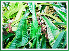 Thick coriaceous leaves of Vatica yeechongii (Resak Daun Panjang in Malay), glossy dark green above and pale green beneath, 21 Oct 2017