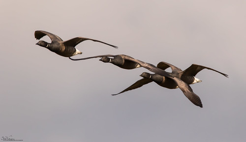 Grey Skies And Brent Geese