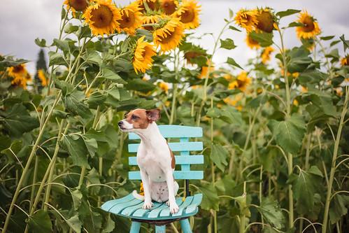 Sunflowers-0877