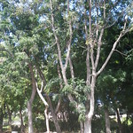 Azadirachtica indica tree