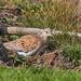 Turtle Dove-Northwick- untitled-7374