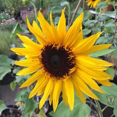 Sunflower 'Orange Ruffles'