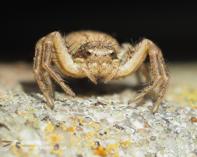 Xytiscus crab spider - 8 image stack-2