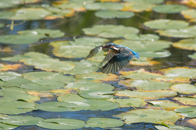 20171001-Kingfisher-DSC_3986
