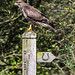 Wild Buzzard resting on a Bridleway sign