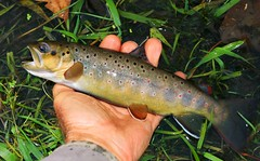 brown trout at Coldwater Creek IA 854A0959