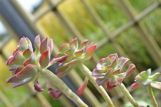 DSC_6638 Echeveria bicolor var.bicolor  エケベリア 紅日傘