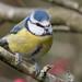 Blue Tit, (Parus caeruleus).