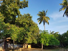 Banyean tree, Coconut palm and yellow oleander plant in a village temple