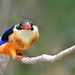 黑頭翡翠 / Black-capped kingfisher by O'Summer