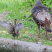Turkeys (adult and baby)