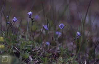 Tiny Veronica aphylla. Villacher Alpe June 1990