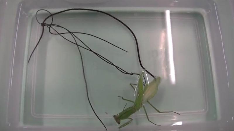 Spinochordodes tellinii, sejenis cacing bulu kuda, cacing parasit yang umumnya ada di dalam tubuh seekor belalang.