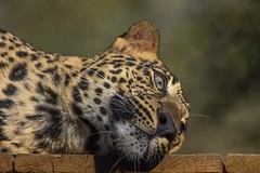 Young leopard relaxing