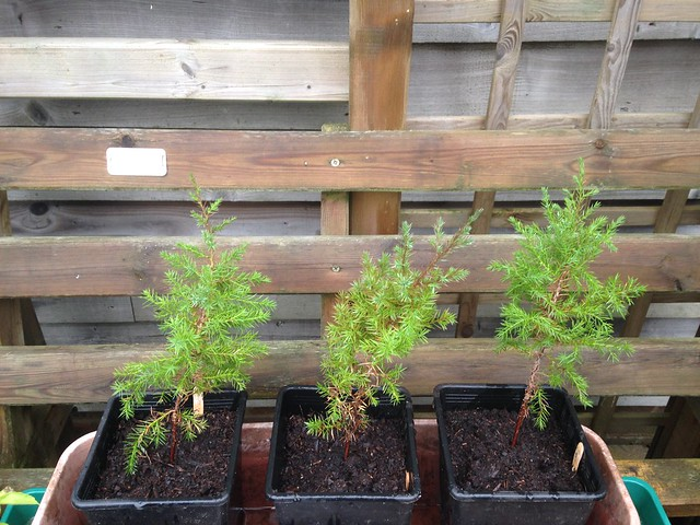 Gardening offers: Baby junipers