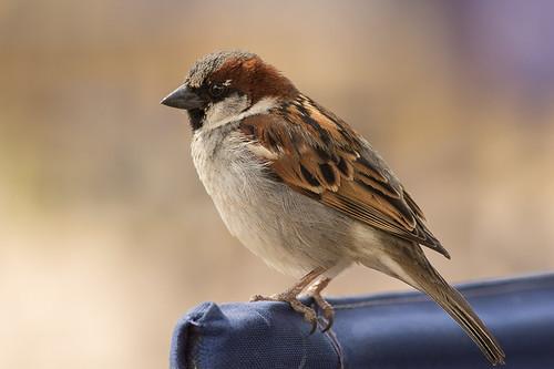 Gorrión - Passer domesticus - House Sparrow ♂
