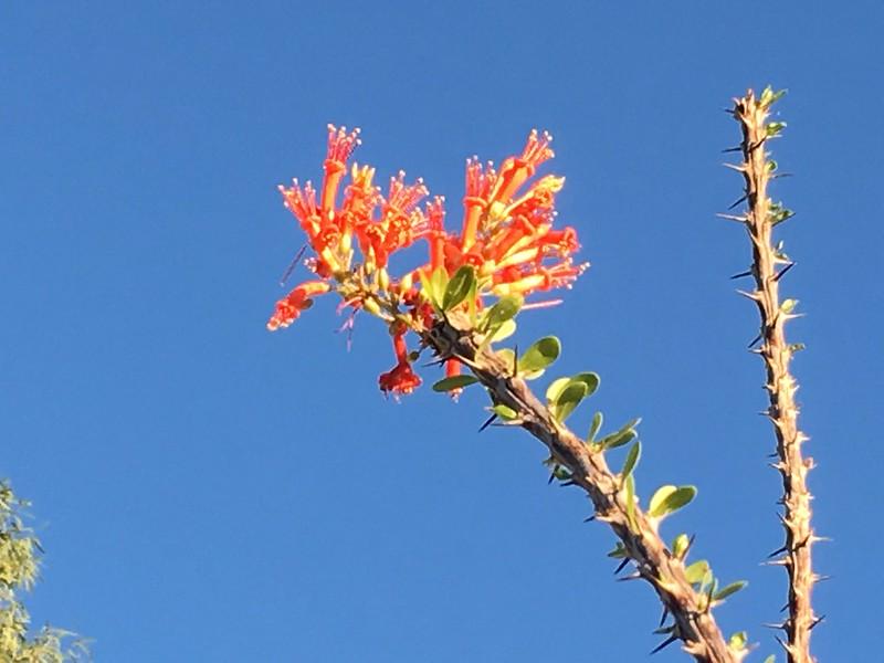 Ocotillo cactus bloming