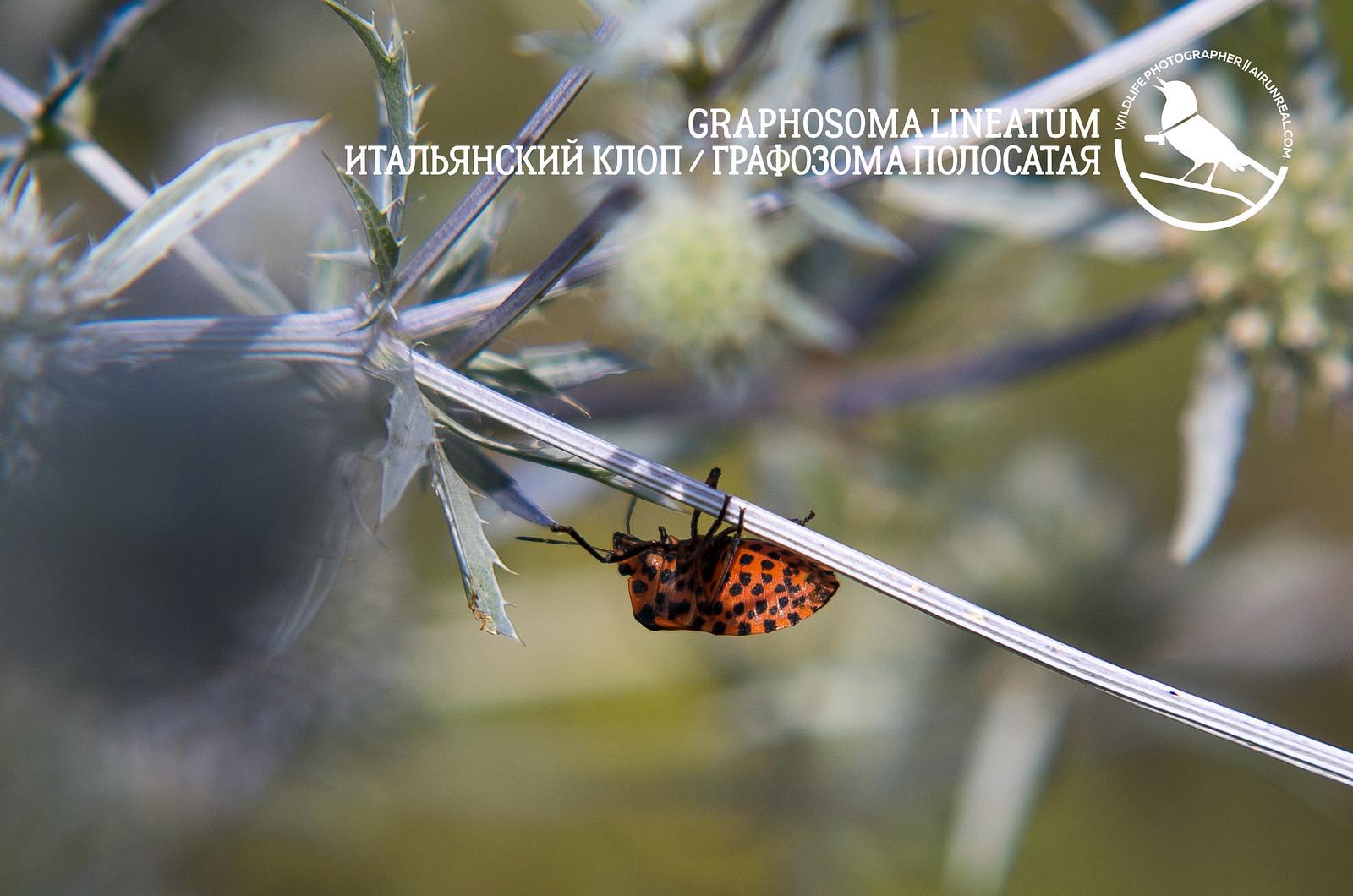 Graphosoma lineatum // 20171102