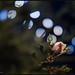 Nightlife of a Rose