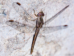 In the su resting dragonfly.Petrified or not?