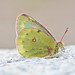 Mountain Clouded Yellow (Colias phicomone)