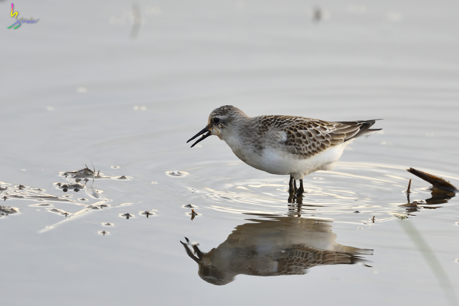 Red-necked_Stint_0084