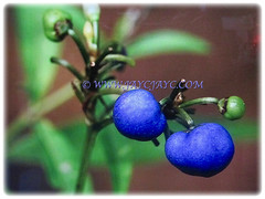 Deep blue and shiny fruits of Dianella ensifolia (Umbrella Dracaena, Flax Lily, Common Dianella, Sword-leaf Dracaena, Cerulean Flax-lily, Siak-Siak in Malay), 3 Oct 2017