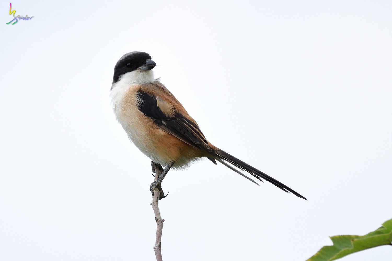 Long-tailed_Shrike_0699