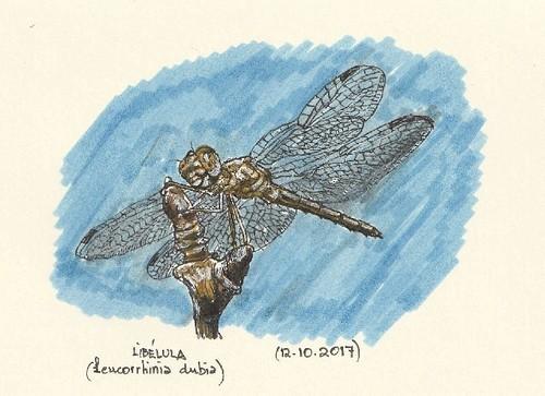 Libélula (Leucorrhinia dubia)