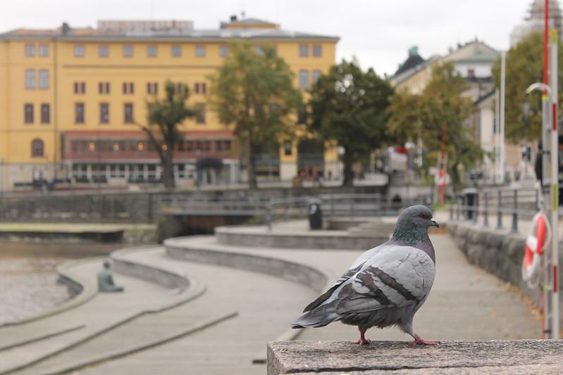pigeon in Örebro