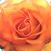 Friendship Rose by ladybugdiscovery