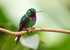 IMG_5535  Purple-bibbed Whitetip_hummingbird