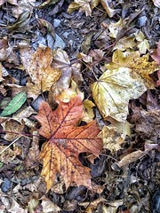 Autumn Leaf Change Dry Leaves Fallen Nature Maple Leaf Maple Outdoors Day No People Beauty In Nature Fragility Close-up