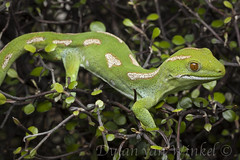 Naultinus grayii (Northland green gecko)