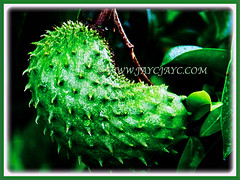 Dark green, prickly and curved fruit of Annona muricata (Soursop, Prickly Custard Apple, Durian Belanda in Malay), 22 Oct 2017
