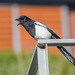 Shouting Magpie by CapMarcel