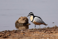 Egyptian Plover1 copy