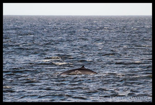 Minke whale in St-Lawrence estuary