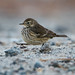 Small photo of American Pipit (Anthus rubescens)