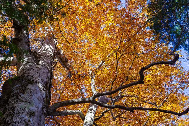 御嶽神社裏のブナの大木を見上げる
