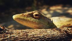 Squamata: Polychrotidae