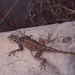 Small photo of Agamid lizard with blue spotted head.