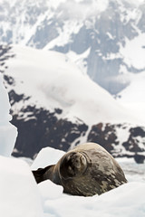Jaw Dropping Backdrop and a Weddell Seal