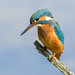 Kingfisher by cogs2011