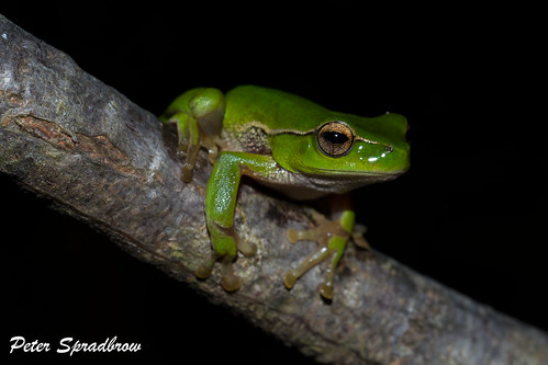 Green Stream Frog (Litoria phylochroa) at Darkes Forest